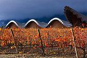 Ysios Winery, Vineyard in aturmn, La Rioja, Alava, Basque Country, Spain, Europe