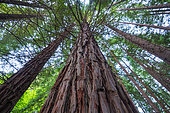Sequoia - Sequoya (Sequoia sempervirens) is the sole living species of the genus Sequoia in the cypress family Cupressaceae (formerly treated in Taxodiaceae). Common names include coast redwood, coastal redwood and California redwood