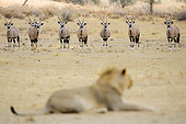 Lion (Panthera leo) male in front of a herd of Oryx in the Kalahari Desert, South Africa