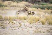 Kalahari Lions (Panthera leo) fighting for a female, Kgalagadi Transfrontier Park, Botswana
