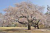Japanese flowering cherry trees (Prunus serrulata) in bloom, Shinjuku Park, Tokyo, Japan