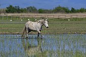 Camargue horse in a swamp, Aiguamolls del Emporda, Spain