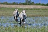 Camargue horses in a swamp, Aiguamolls del Emporda, Spain