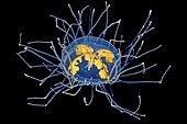 Clinging Jellyfish (Gonionemus vertens), Sogn og fjordane, Norway, Europe