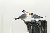 Elegant tern (Thalasseus elegans) juvenile food begging on a pole, Sausalito, San Francisco Bay, California,