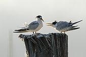Elegant tern (Thalasseus elegans) juvenile food begging on a pole, Sausalito, San Francisco Bay, California,