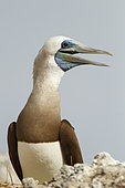 Brown booby (Sula leucogaster) male, Isla Isabella, Nayarit, Mexico