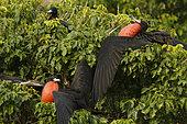 Magnificent Frigatebird (Fregata magnificens) males displaying, Isla Isabella, Nayarit, Mexico