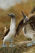 Blue-footed booby (Sula nebouxii) pair displaying, Isla Isabella, Nayarit, Mexico
