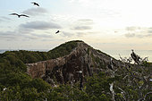 Magnificent Frigatebird (Fregata magnificens) Immature and adults flying overhead ,Isla Isabella, Nayarit, Mexico