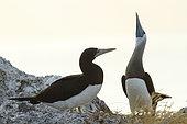 Brown booby (Sula leucogaster) pair displaying, Isla Isabella, Nayarit, Mexico