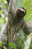 Brown-throated Three-toed Sloth (Bradypus variegatus), Manuel Antonio National Park, Costa Rica