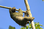 Brown-throated Three-toed Sloth (Bradypus variegatus), Manuel Antonio National Park, Costa Rica