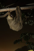 Hoffman's two-toed sloth (Choloepus hoffmanni) at night in urban area. Amador Causeway, Balboa, Panama, Isla Flamenco, Isla Perico, Isla Naos, Pacific Ocean