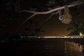 Paresseux d'Hoffmann (Choloepus hoffmanni) la nuit en zone urbaine. Amador causeway, Balboa, Panama, Isla Flamenco, Isla Perico, Isla Naos, Océan Pacifique