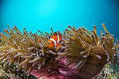 Clown anemonefish (Amphiprion ocellaris) in its Anemone, Cebu, Philippines