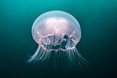 Moon Jellyfish (Aurelia aurita), Pescador island, Philippines