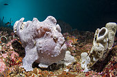 Commerson's frogfish (Antennarius commerson) on reef, Pescador island, Philippines