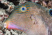 Papuan toby (Canthigaster papua), Moalboal, Philippines