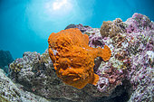 Commerson's frogfish (Antennarius commerson) on reef, Moalboal, Philippines