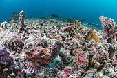 Scorpionfish (Scorpaenopsis sp) on a background of coral debris, Moalboal, Philippines