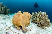 Commerson's frogfish (Antennarius commerson) on bottom and diver, Dauin, Philippines
