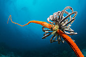 Feather star on whip coral, Dauin, Philippines