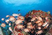 School of Bigscale Soldierfish (Myripristis berndti), Booby rock dive site, off Praslin, Seychelles