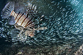 Red Lionfish (Pterois volitans) hunting in a school of fish, Mahé, Seychelles