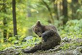 Ours brun européen (Ursus arctos) ourson dans la forêt de Sneznik, Slovénie