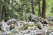"Dominant European brown bear, or ""alpha bear in search for feamle on the left (Ursus arctos), in the karst forest, Notranjska, Slovenia"