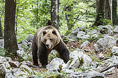 "Dominant European brown bear, or ""alpha bear, (Ursus arctos), in the karst forest, Notranjska, Slovenia"