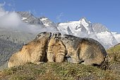Alpine marmot (Marmota marmota), group in front of Grossglockner, High Tauern National Park, Austria, Europe