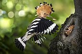Hoopoe (Upupa epops) feeding his young at nest