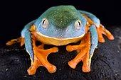 Splendid leaf frog (Cruziohyla calcarifer)
