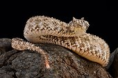 The spider-tailed horned viper (Pseudocerastes urarachnoides) is a species of viper endemic to western Iran which was described in 2006. The head looks very similar to that of other Pseudocerastes species in the region, but the spider-tailed horned viper has a unique tail that has a bulb-like end that is bordered by long drooping scales that give it the appearance of a spider. The tail tip is waved around and used to lure insectivorous birds to within striking range.