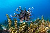 Red lionfish (Pterois volitans) and Sargasse (Sargassum sp), Martinique