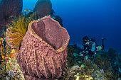Diver with ventral rebreather in front of a Barrel Sponge (Xestospongia muta), Martinique