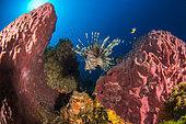 Barrel Sponge (Xestospongia muta) and Red lionfish (Pterois volitans), Martinique