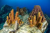 Yellow Tube Sponge (Aplysina fistularis) and Barrel Sponge (Xestospongia muta), Martinique