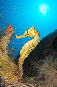 Longsnout seahorse (Hippocampus reidi) on the wreck of Nahoon, Martinique