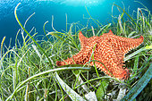 Red Cushion star (Oreaster reticulatus) in a mixed underwater seagrass at Thalassia and Syringodium, Martinique