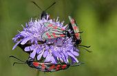 Six-spot Burnet (Zygaena fillipendulae) on Scabiosa canescens, Bollenberg hill, Orschwihr, Haut Rhin, France