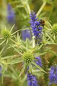 Honey Bee (Apis mellifera) on Spike Speedwell (Veronica spicata) and , Field eryngo (Eryngium campestre), Bollenberg hill, Orschwihr, Haut Rhin, France