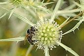 Honey Bee (Apis mellifera) on Field eryngo (Eryngium campestre), Bollenberg hill, Orschwihr, Haut Rhin, France