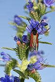 Burnet (Zygaena osterodensis) on Blueweed (Echium vulgare) flowers, Bollenberg hill, Orschwihr, Haut Rhin, France