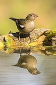 Chaffinch (Fringilla coelebs) at the edge of water, Madrid, Spain