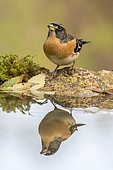 Brambling (Fringilla montifringilla) at the edge of water, Madrid, Spain