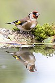Goldfinch (Carduelis carduelis) at the edge of water, Madrid, Spain