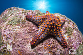 Panamic cushion star (Pentaceraster cumingi), National Park of Espiritu Santo Archipelago, Sea of Cortez, Baja California, Mexico